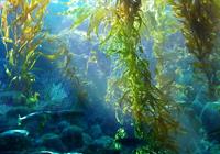 tảo nâu fucoidan